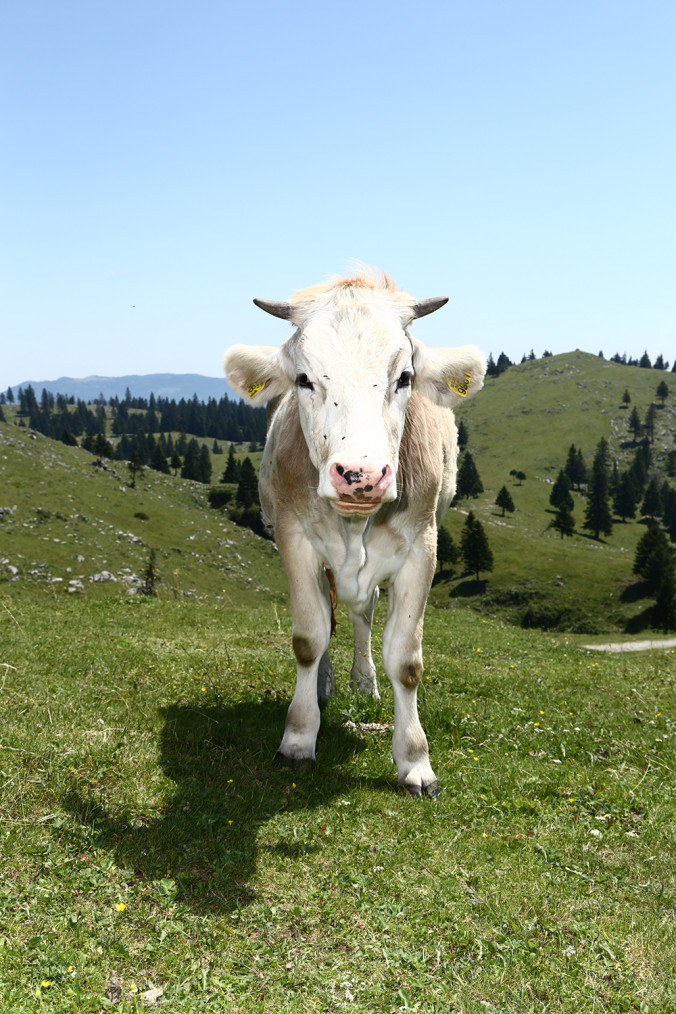 COW_Matija_Tomc_1