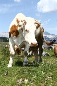 COW_Matija_Tomc_5